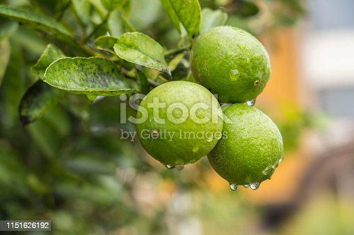 Three green oranges after rain growing on the tree