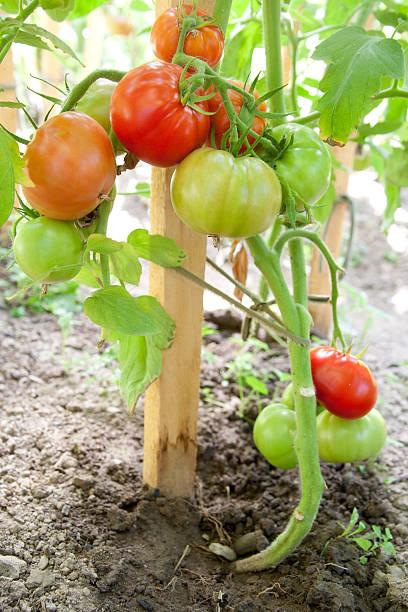 Grüne Bio-Tomaten – Foto