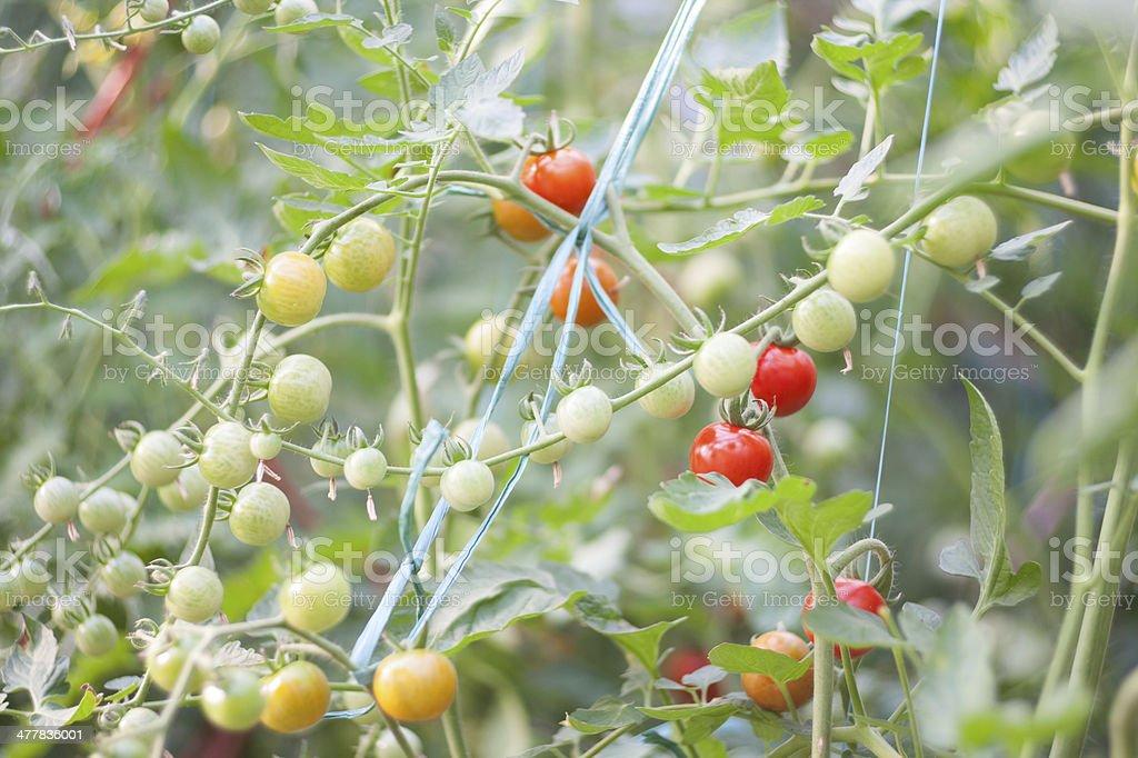 Green  Organic Tomatoes royalty-free stock photo