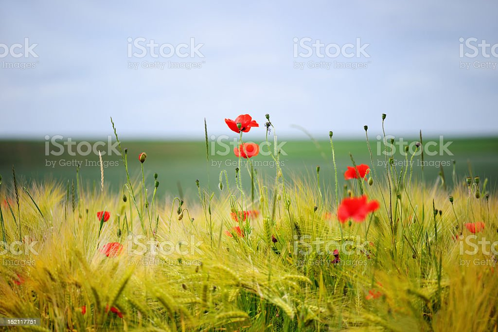 Green organic whet and poppy flowers royalty-free stock photo