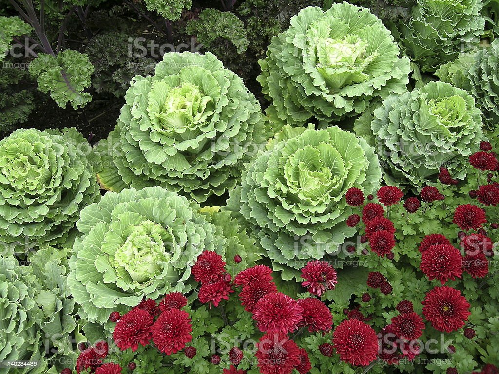 Green Ornamental Cabbages With Maroon Mums stock photo