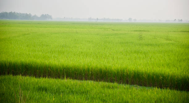 A green paddy field isolated unique photo stock photo