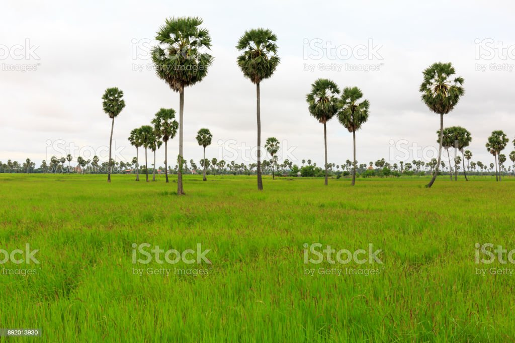 Green Paddy Field with Palm Trees and White Clouds stock photo