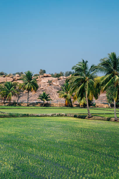 Green paddy field with palm trees in Hampi, India stock photo