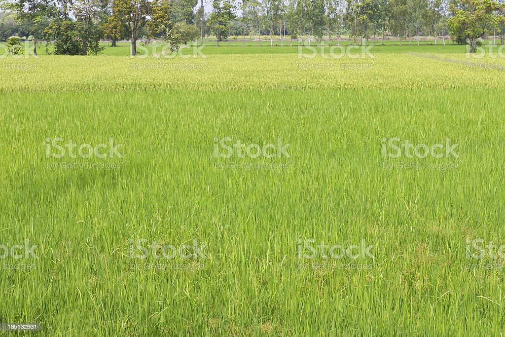 green paddy fields royalty-free stock photo