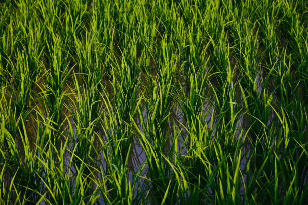 Green paddy plants with water unique photo stock photo