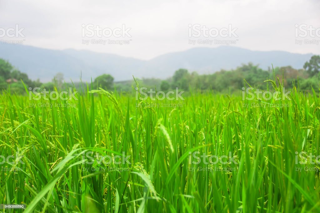 green paddy rice field and mountain with sky,nature concept stock photo