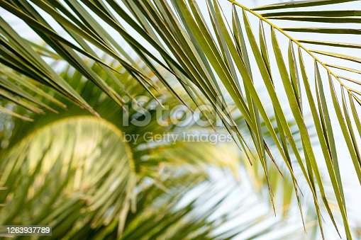 1146114680 istock photo Green Palm branches, soft focus, tropical palm foliage, nature background 1263937789