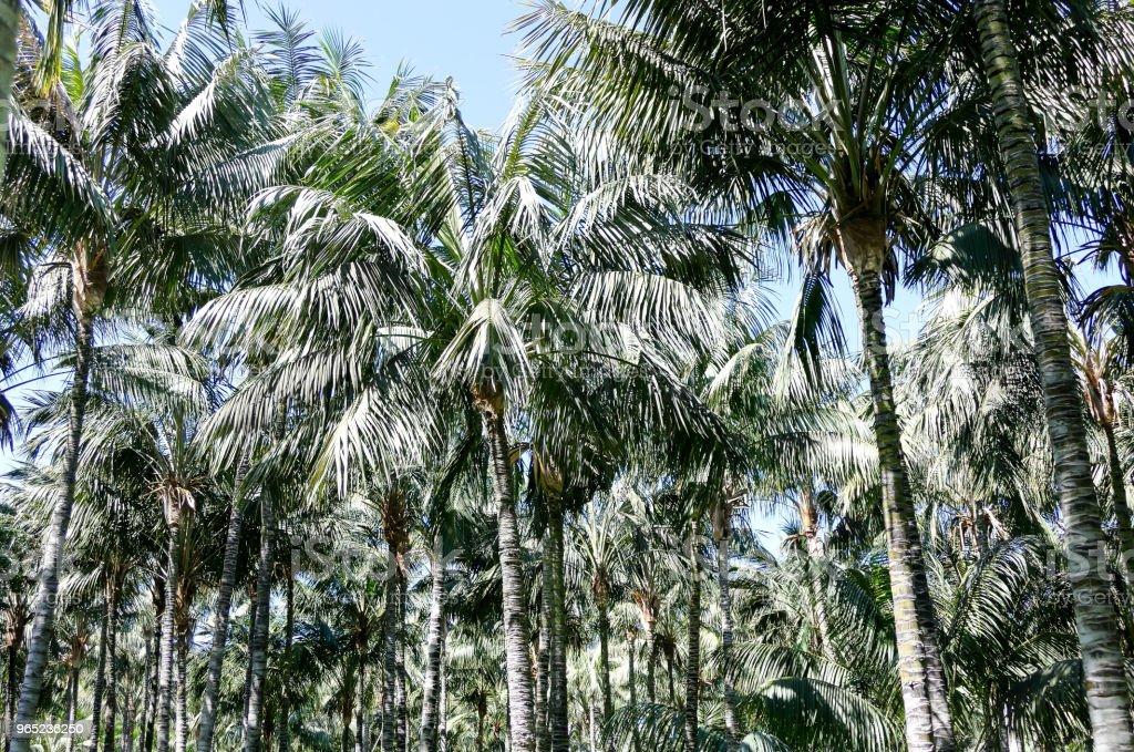 Green Palm Canarian Tree zbiór zdjęć royalty-free