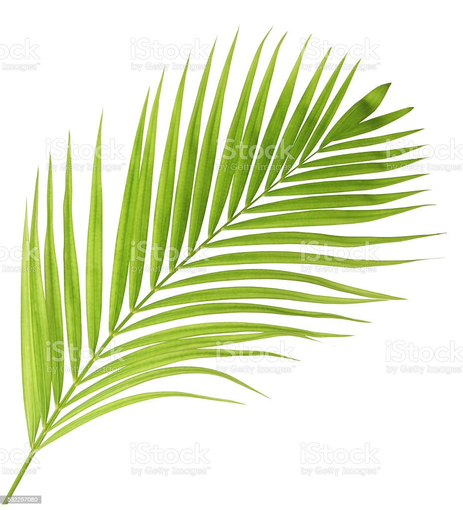 Green palm leaf isolated stock photo