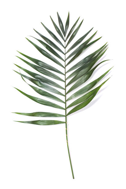 Green palm leaf on white background Green palm leaf isolated on white background caenorhabditis elegans stock pictures, royalty-free photos & images