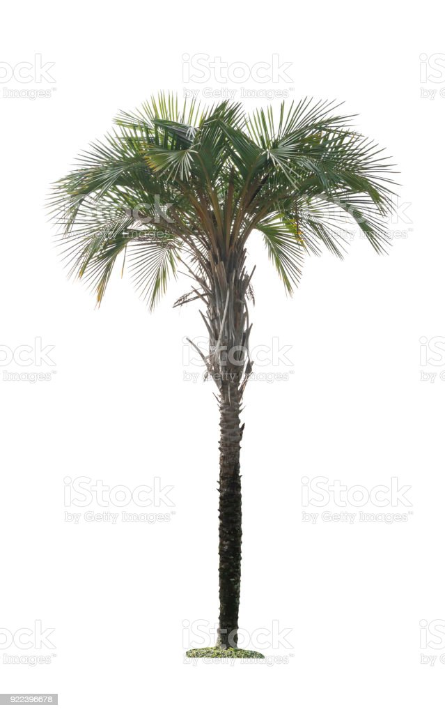 Green palm tree isolated on white background of file with Clipping Path stock photo