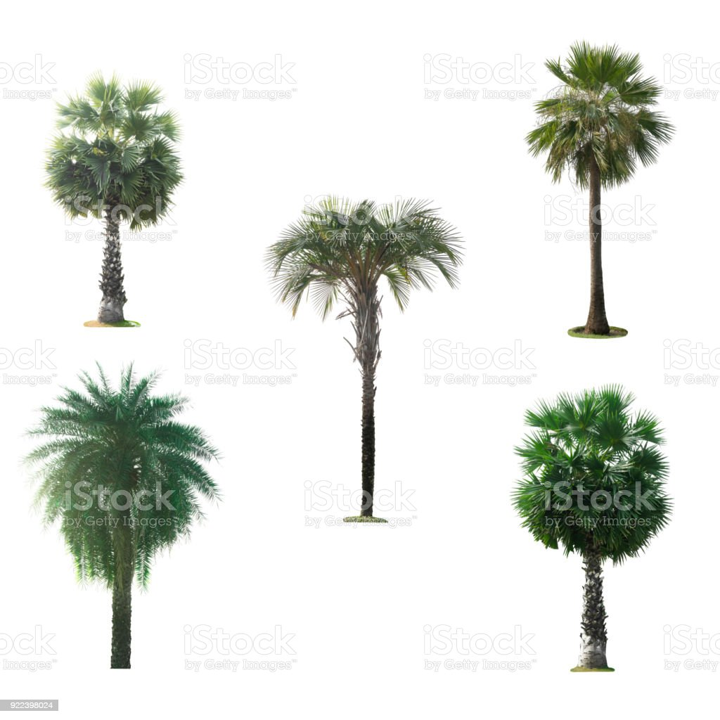 Green palm tree isolated on white background The collection of palm trees stock photo