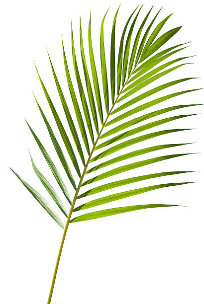green palm tree leaf with isolated on white clipping path - tropical leaves stock photos and pictures