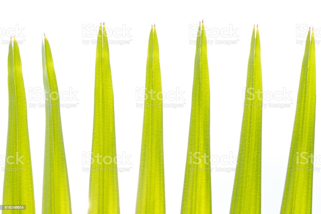 Green palm tree on white background stock photo