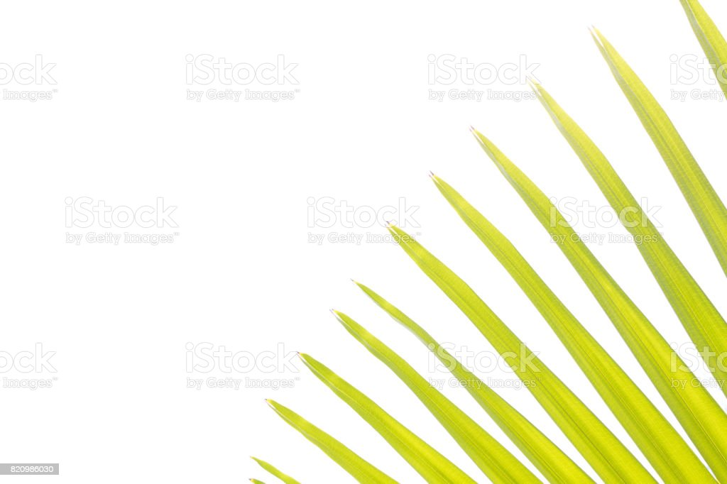 Green palm tree on white background stock photo