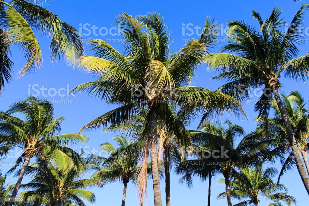 Green Palm Trees on the Beaches of South Beach, Florida Background Pattern stock photo