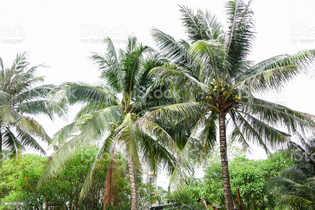 Green palm trees with coconuts royalty-free stock photo