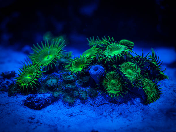 green palythoa (soft coral) in a reef aquarium green palythoa (soft coral) in a reef aquarium invertebrate stock pictures, royalty-free photos & images