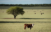 Green Pampas meadow and cows