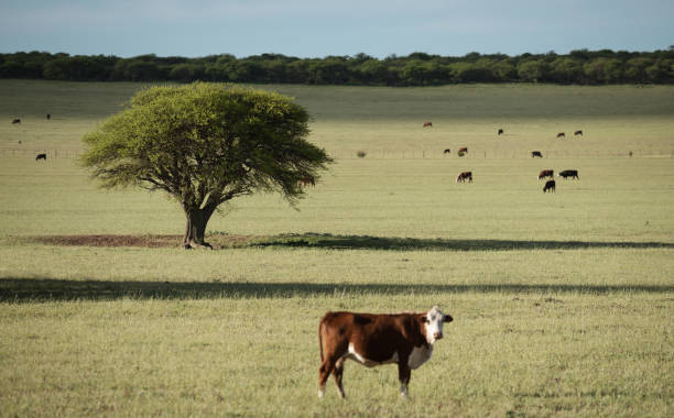 Green Pampas meadow and cows stock photo