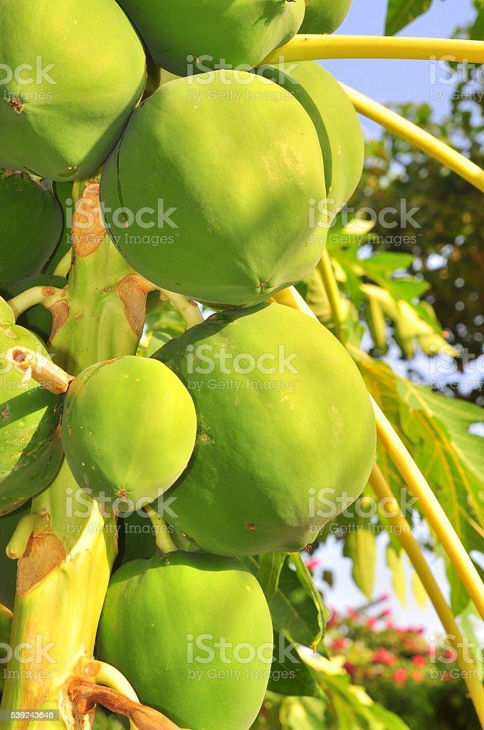 Verde papaya frutas en el árbol foto de stock libre de derechos