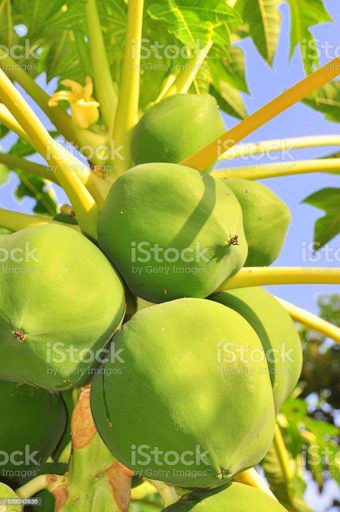 Green papaya fruits on the tree royalty-free stock photo