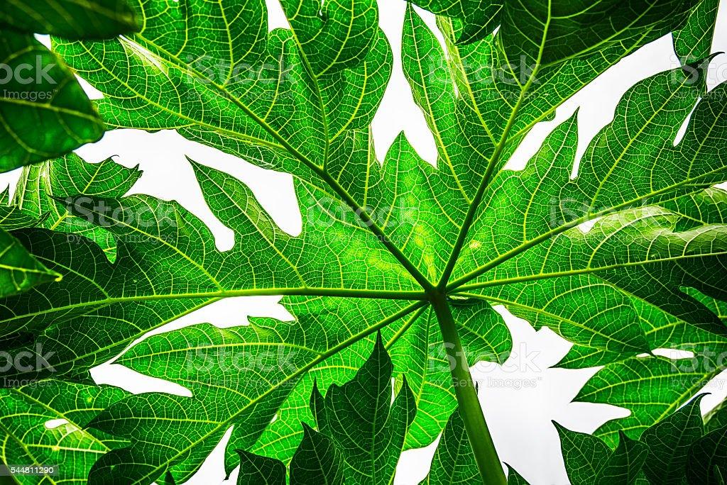 Green Papaya leaf on white background stock photo