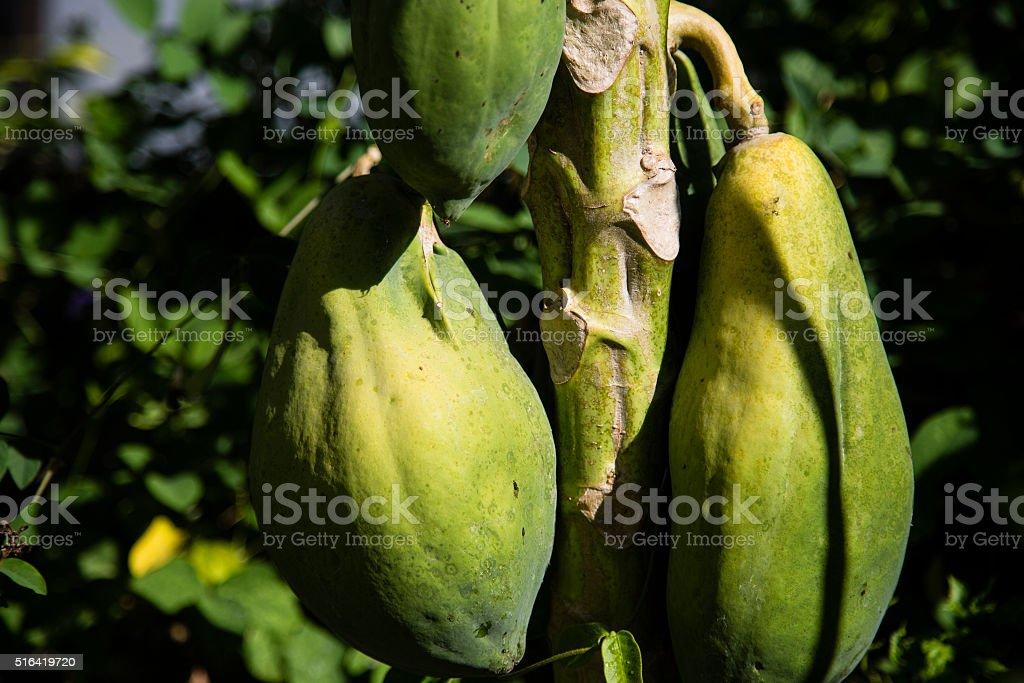 Green Papaya stock photo