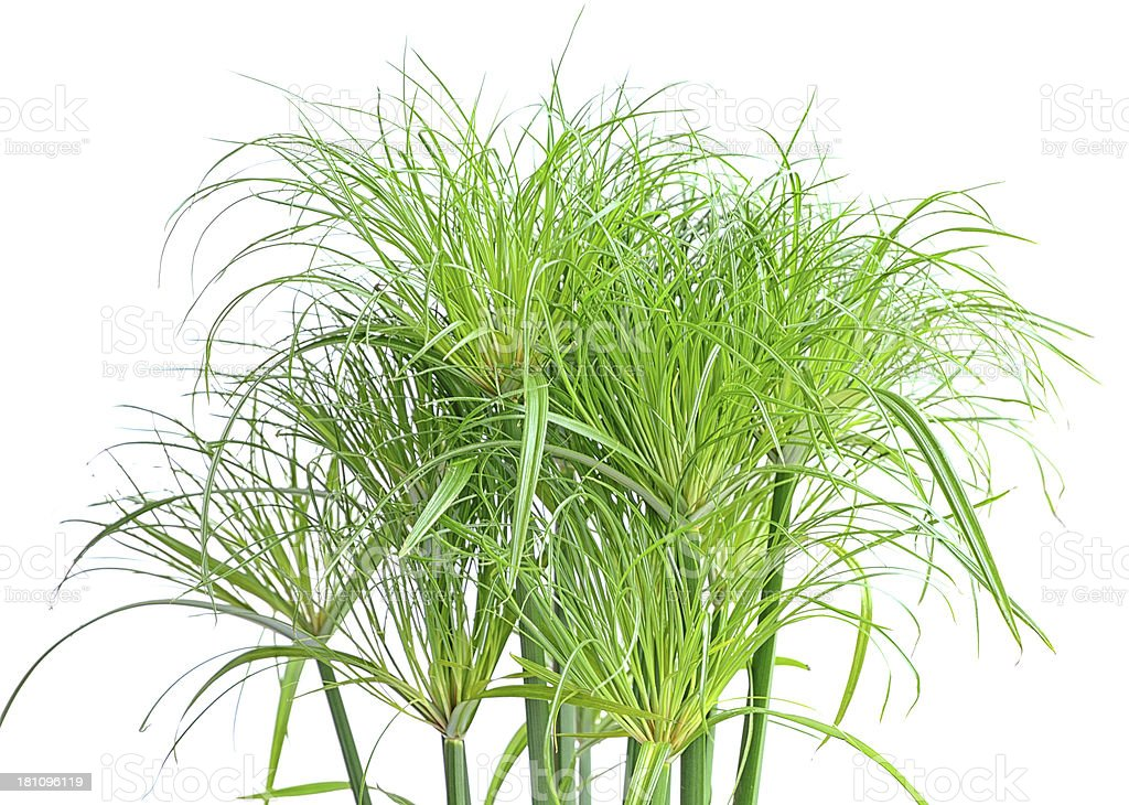 Green papyrus plant on white background stock photo