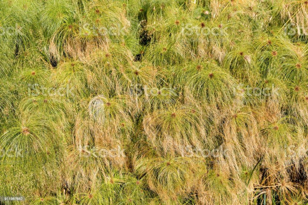 Green Papyrus Plants - Close up stock photo