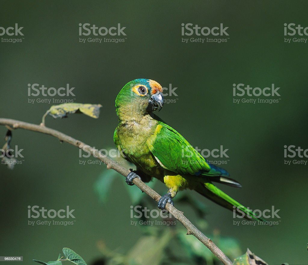 Green parakeet leaning on a branch royalty-free stock photo