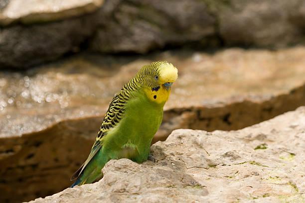 Green parakeet on the rocks