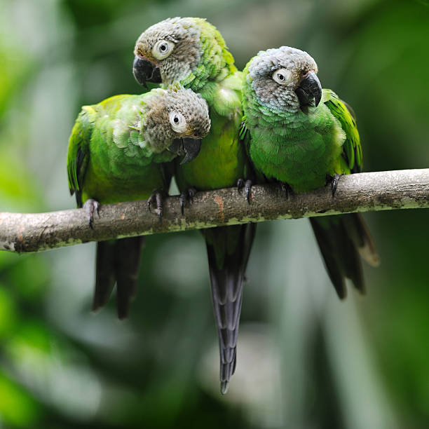 green parakeet parrots snuggling - green winged macaw stock photos and pictures