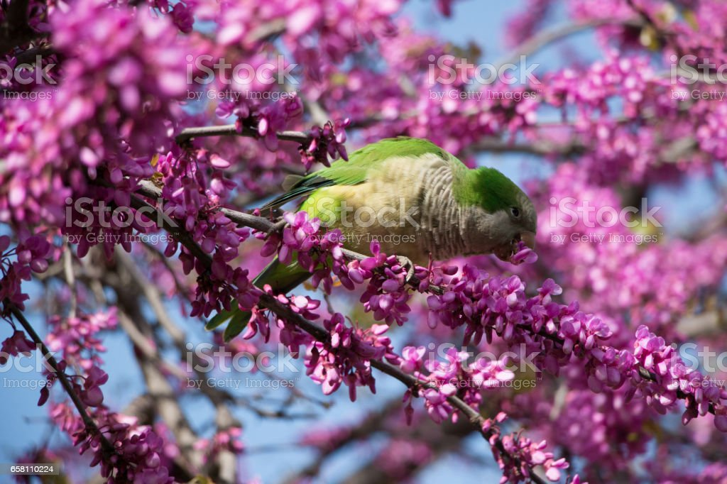 green parrot 8 royalty-free stock photo