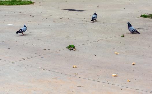 Green parrot among pigeons