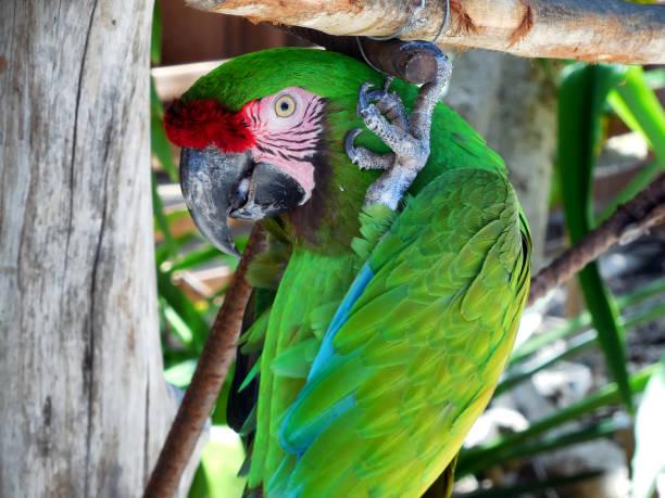 Green Parrot at Ardastra Gardens, Nassau Bahamas stock photo
