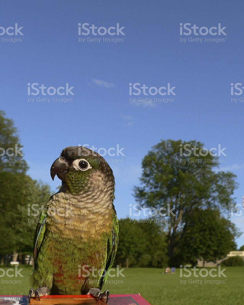 Green parrot at the park royalty-free stock photo
