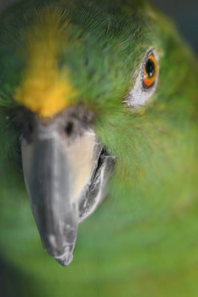 green parrot eye in focus - steven harrie stock photos and pictures