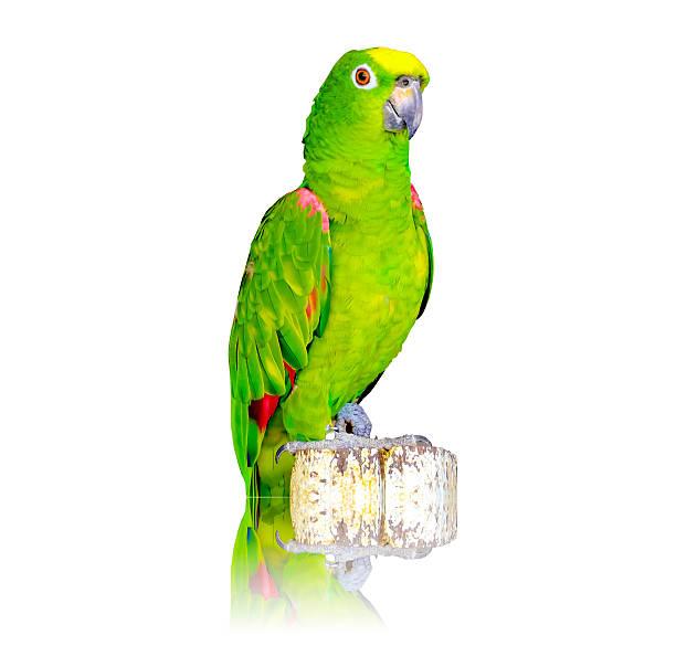 green parrot isolated on white background - urbanara stock-fotos und bilder