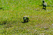 green parrot on a juicy green grass, wild birds in a park in the city, fauna