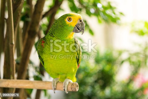 Green parrot in the garden