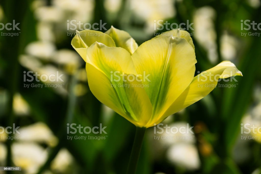 Green parrot tulip royalty-free stock photo