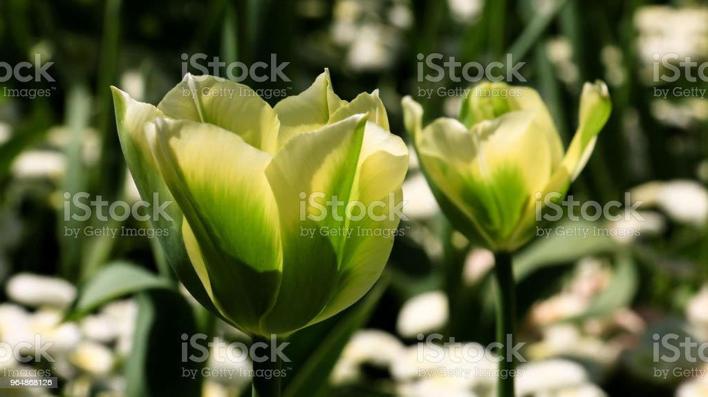 Green parrot tulips royalty-free stock photo