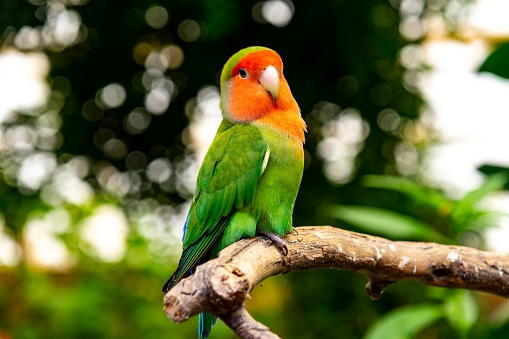 A green parrot with orange face perched on a branch