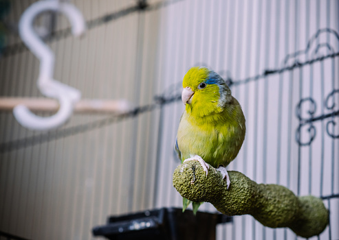 Green Parrotlet (small exotic bird) perched outside it's cage at home.