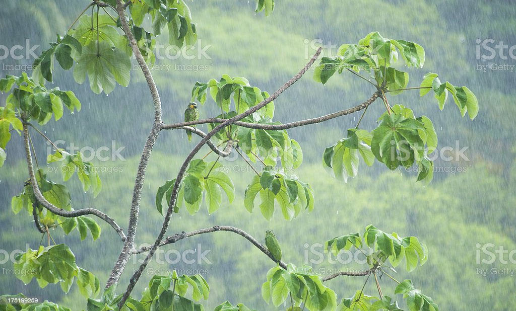Several green parrots sitting high in the canape in the rain in the...