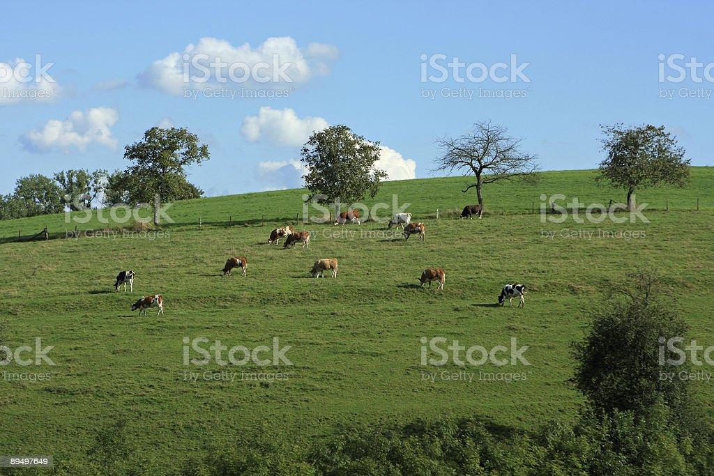 Green Pastureland with Grazing Cows Summer Landscape royaltyfri bildbanksbilder