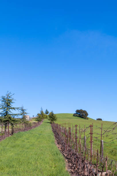 Green path with vineyards on each side. stock photo