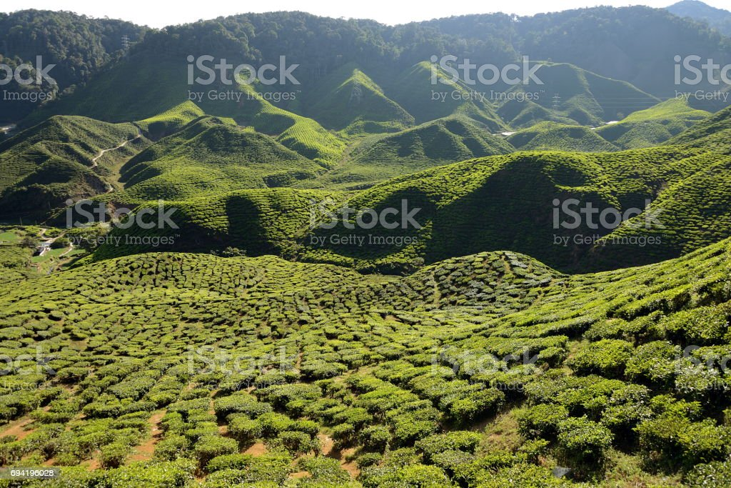 Green pattern of tea plantations in Cameron Highlands, Malaysia stock photo